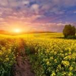 13078623-paysage-d-39-ete-avec-un-champ-de-fleurs-jaunes-lever-du-soleil