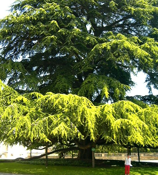 544px-Giant_Cypress_tree_in_Tours,_France