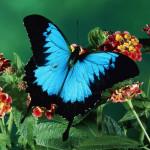 Blue-Mountain-papillons-Papilio-Ulysse
