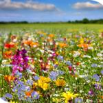 champ-fleurs-abeilles