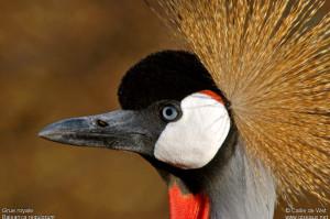 Grue royale Balearica regulorum Grey Crowned Crane