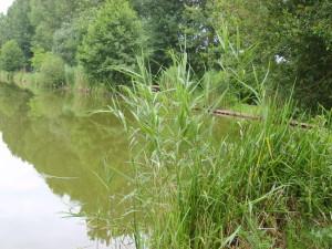 roseau-au-bord-du-lac-paysages--442d83T650