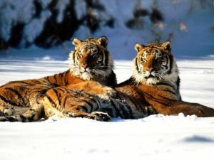 tigre19