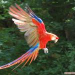 perroquet-en-vol-le-jardin-aux-oiseaux-upie-pa-29410114023